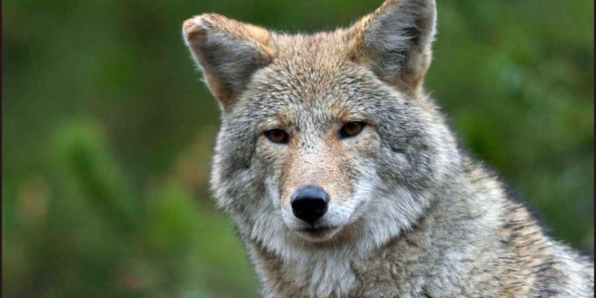 GA DNR encourages coyote hunting through statewide challenge