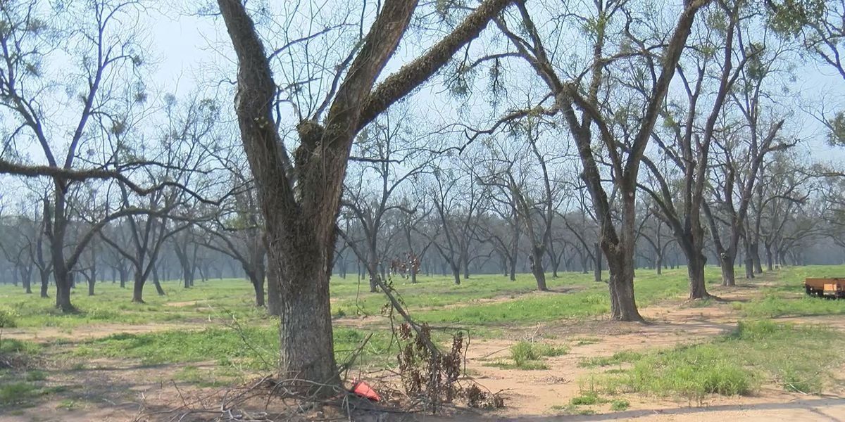 Blueberry crop hurt by freeze, pecan trees should be OK