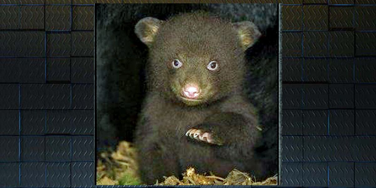 Baby bear missing from wildlife sanctuary