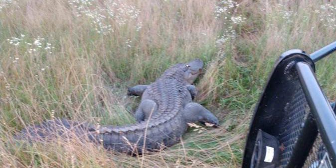 Firefighters capture large alligator from road in Worth Co.