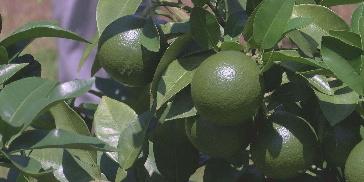 Georgia could become the next citrus state