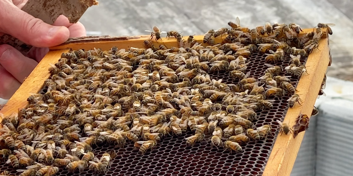 COVID may have impacted the life span of bees