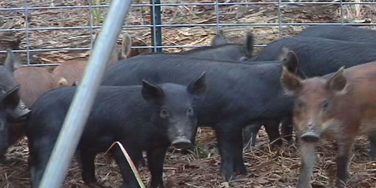Georgia farmers face more wildlife problems
