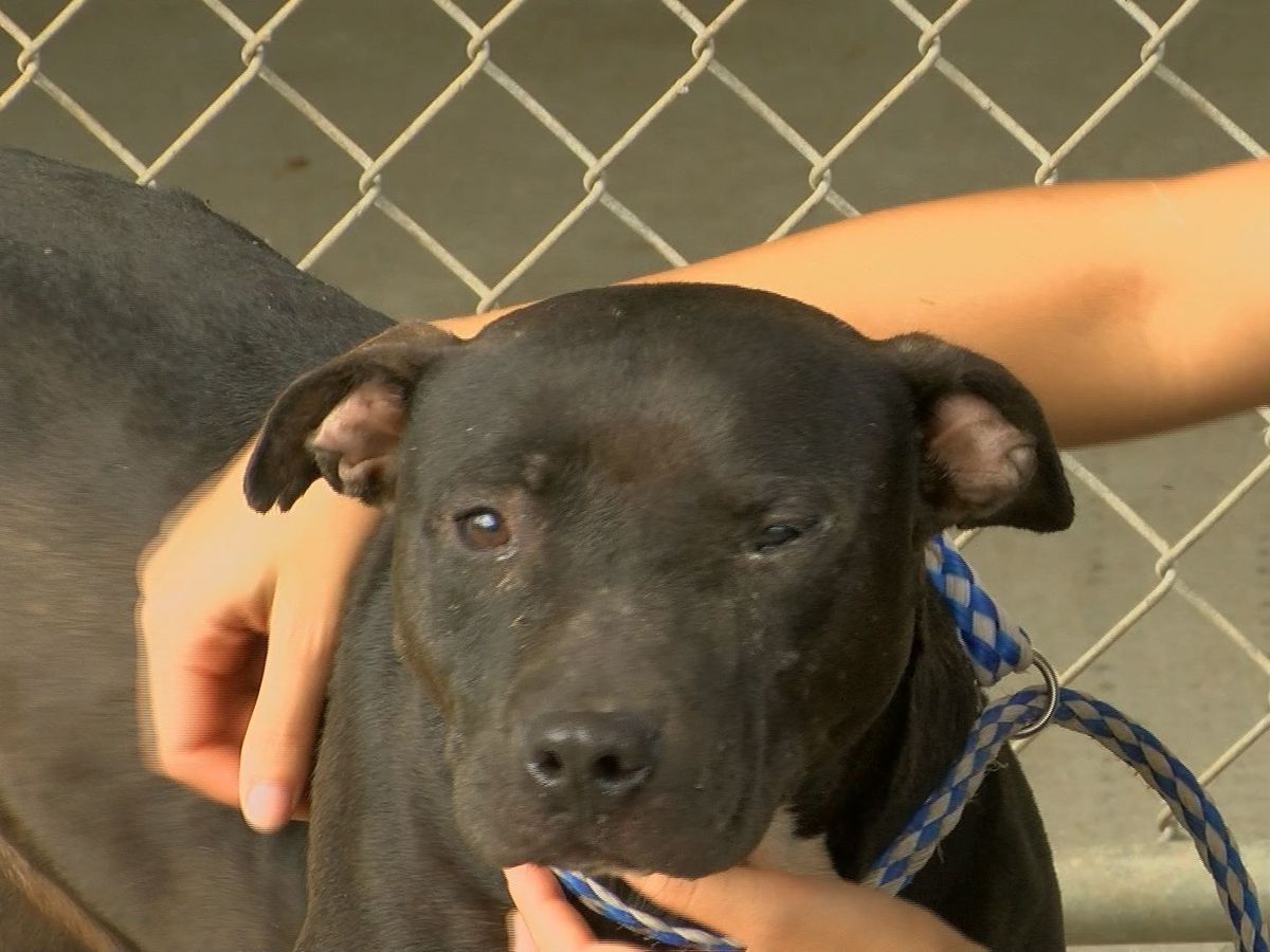 Albany Humane Society acknowledges Pit Bull Awareness Day