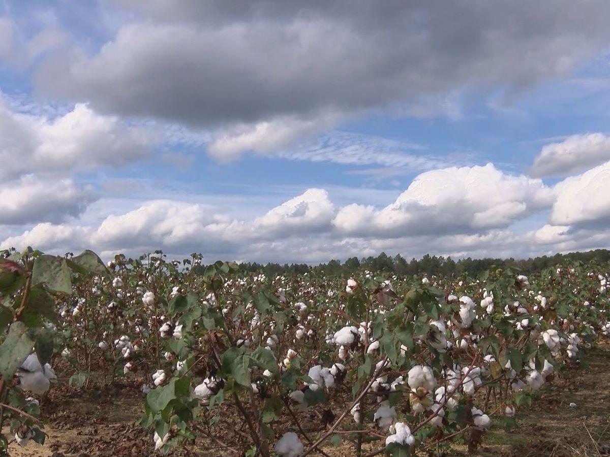 Nestor's impact on local cotton farms