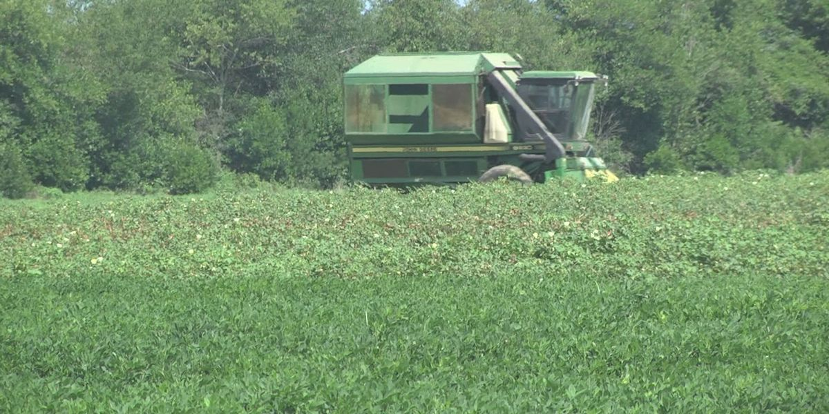 Replanting peanuts in same the fields can cause problems