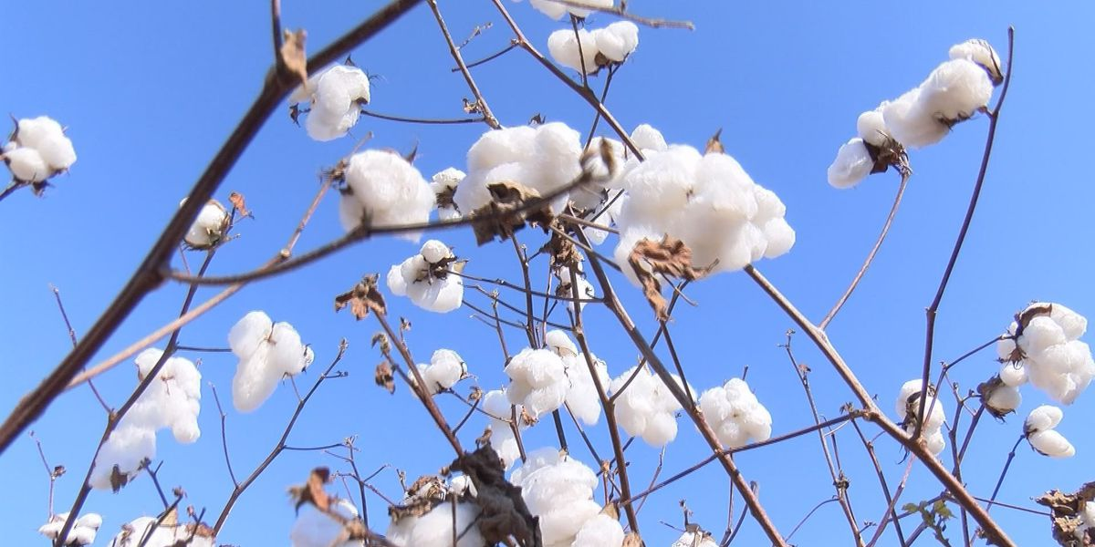 Georgia Cotton Commission increases research fund for 2019