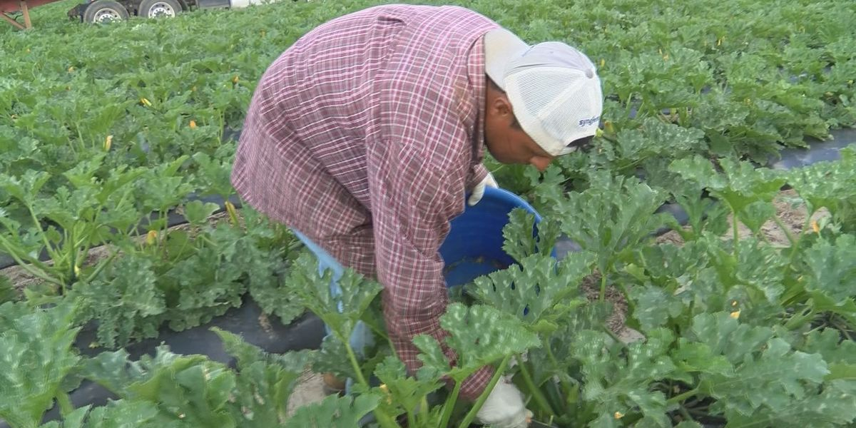 Farmers fear for workforce amid immigration crackdown