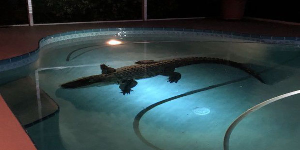 11-foot gator pulled from Florida pool