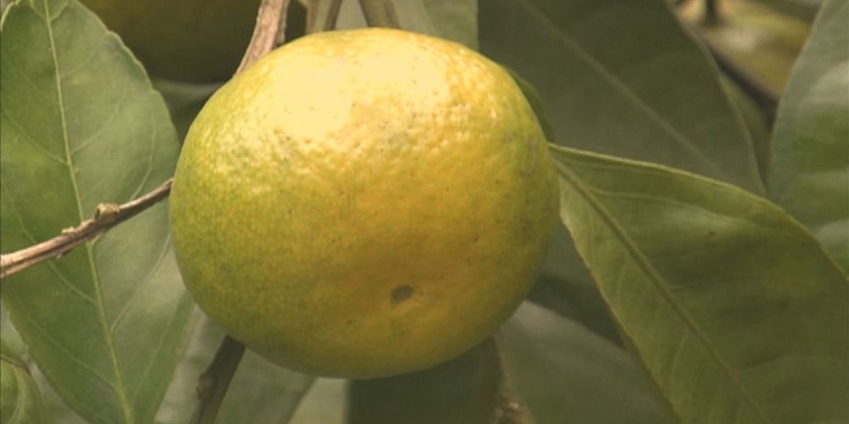 GA farmers find future in citrus groves 'ap-peal-ing'