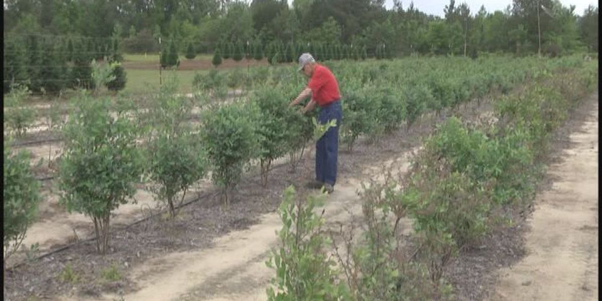 UGA professor wants more blueberries growing in Georgia