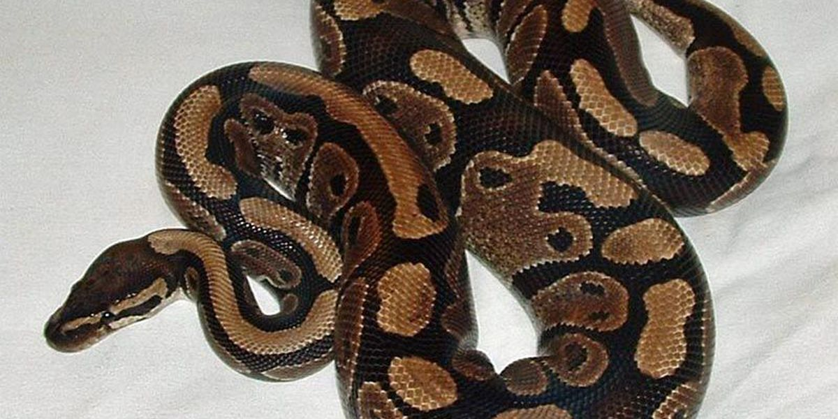 Snakes Alive! Missing pythons on the loose in GA