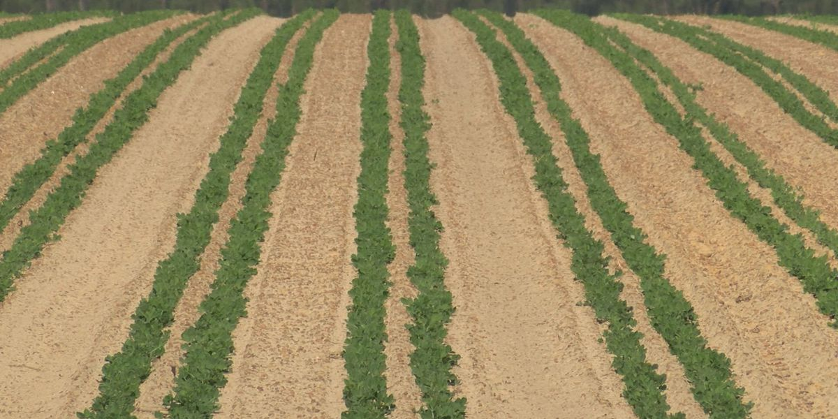Dry weather causing problems for peanut farmers