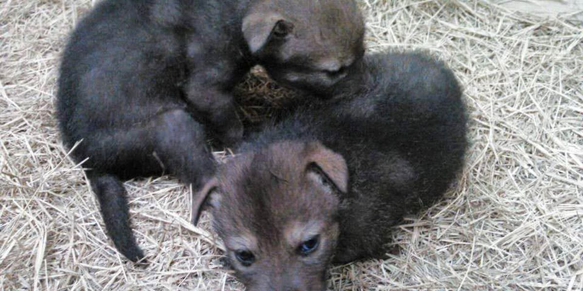 Georgia park welcomes first red wolves born in 2015