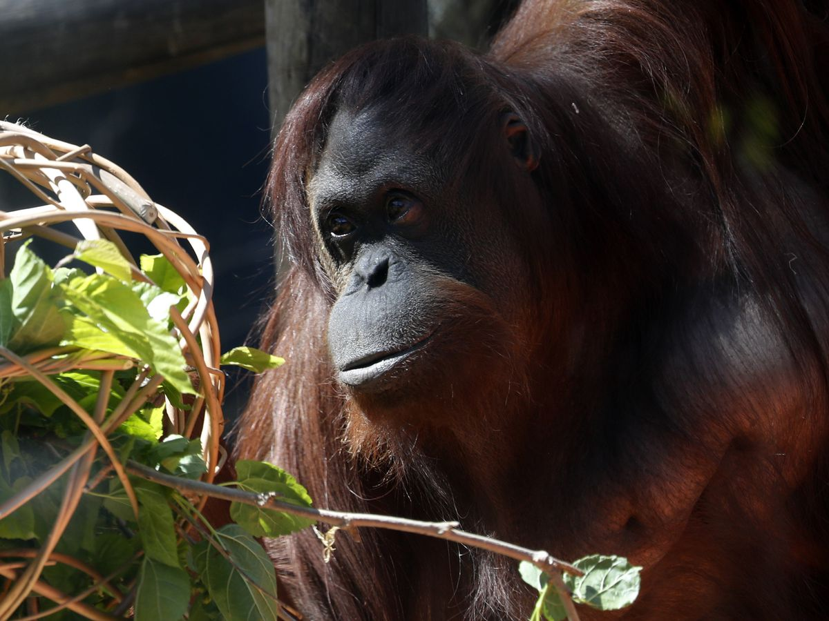 Orangutan granted 'personhood' turns 34, makes new friend