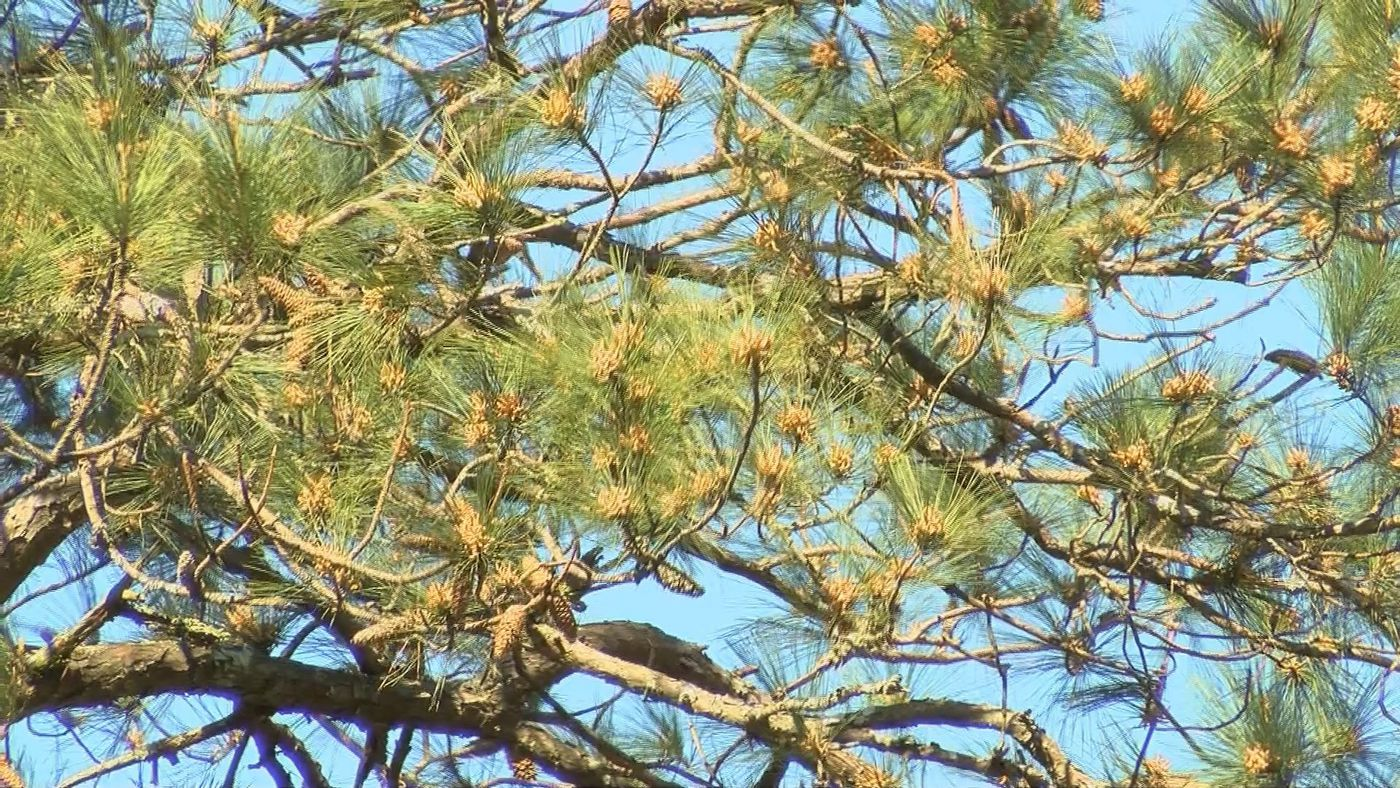 Pine pollen drops, thanks to rain