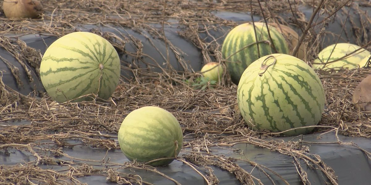 Rain, disease creates problems for farmers