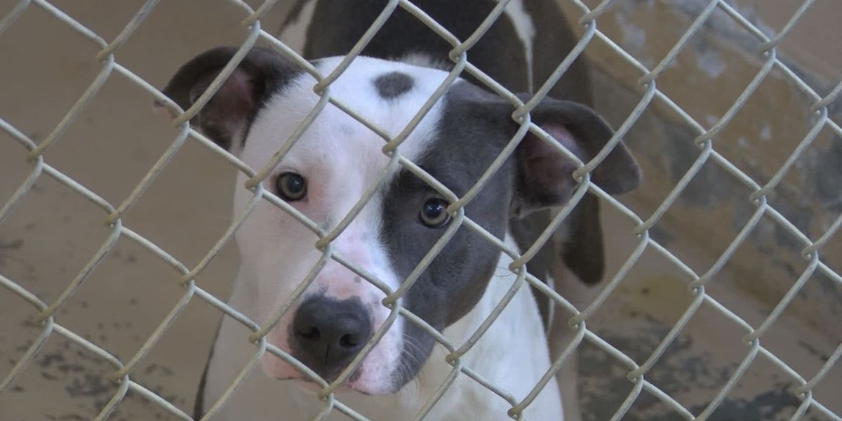Bill to honor bulldogs could hurt effort to help shelter dogs