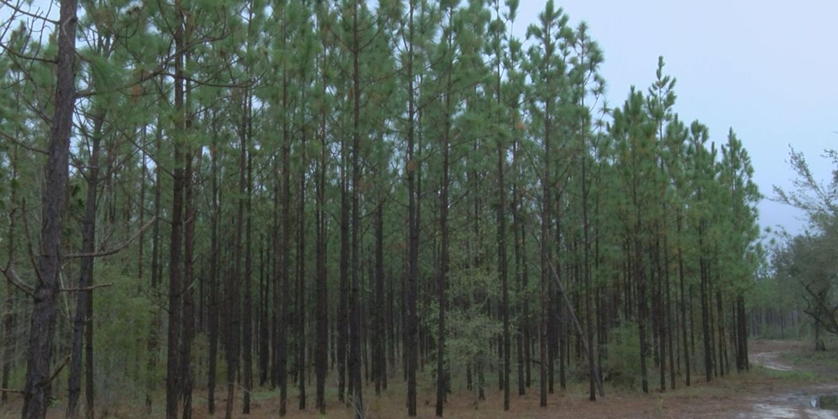 Longleaf pine restoration and conservation damaged by Hurricane Michael